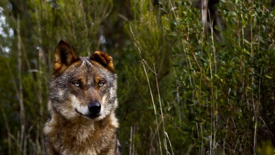 O Grupo Lobo avançou com o projeto Cães de Gado, cujo objetivo passa por recuperar a utilização das raças nacionais de cães de gado para a proteção dos rebanhos