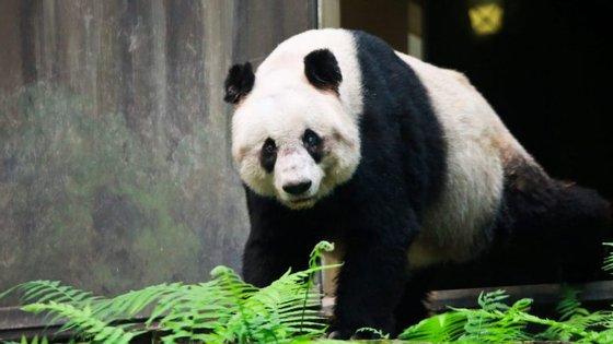 O panda sofria de cataratas, tensão arterial alta, possuía dificuldades em alimentar-se e tinha cancro
