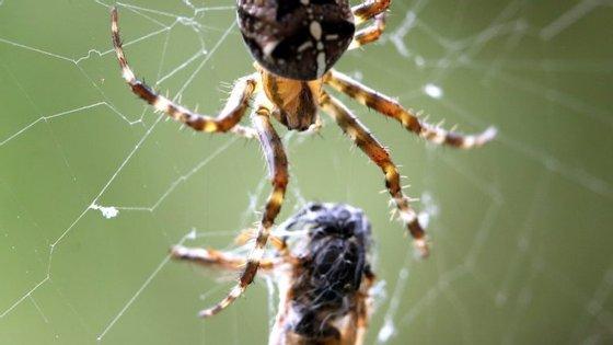 Ainda que algumas comam ratos, lagartos e sapos, 90% da dieta das aranhas é insetos