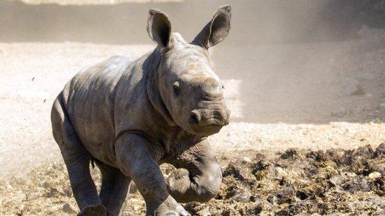 O rinoceronte branco é extremamente raro. Os caçadores furtivos e as guerras em África foram os culpados
