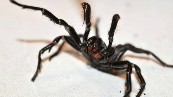 A aranha funnel web - aranha teia de funil - é proveniente da Austrália, mais precisamente das regiões de Queensland e New South Wales.