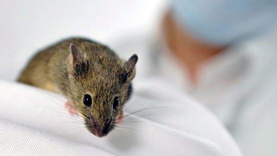 Os cientistas esperam que os ratos transgénicos consigam funcionar como uma espécie de alarme