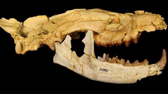 Os hienodontes foram os principais predadores em África após a extinção dos dinossauros