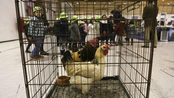 As autoridades de Moçambique abateram 700 mil frangos na quinta-feira, depois de ter sido detetado um surto de vírus numa unidade de produção