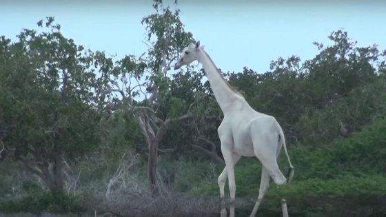 É a segunda vez que aparecem girafas brancas neste parque
