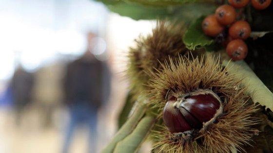 Concelho de Bragança é dos maiores produtores nacionais de castanha