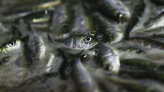 O stock de sardinha tem vindo a decrescer de 106 mil toneladas em 2006 para 22 mil em 2016