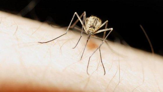 O mosquito do metro de Londres não chupa sangue e não reconhece o mosquito doméstico como sendo da sua espécie