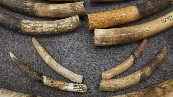 Os EUA queriam permitir a importação de partes de corpos de elefantes africanos caçados em desporto