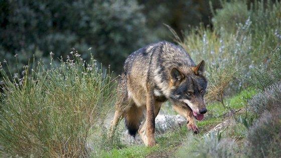 O caso chegou às autoridades depois de a Associação para a Conservação e Estudo do Lobo Ibérico (ASCEL) ter denunciado as fotografias