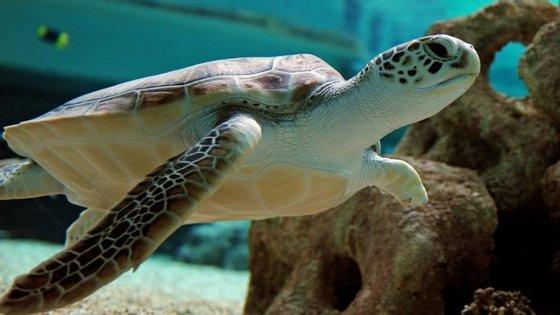 É possível que a população de tartarugas verdes passe a ser composta apenas por fêmeas.