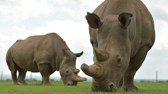 Najin (esquerda) e Fatu são as duas últimas fêmeas da subespécie rinoceronte-branco-do-norte (TONY KARUMBA/AFP/Getty Images)