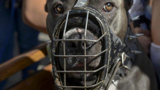 O pit bull está incluído na lista dos cães perigosos ou potencialmente perigosos.