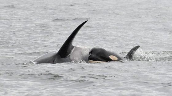 A orca carregou a cria morta durante mil milhas ao longo de 17 dias