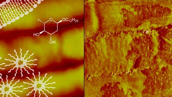 Representação esquemática da membrana celular da bactéria (à esquerda) e danos causados pela ação do antibiótico (à direita)