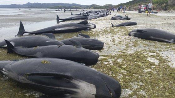 A Nova Zelândia é o país onde mais baleias morrem presas nas praias, sendo frequente o registo de novos encalhes, cuja média é de 85 incidentes por ano