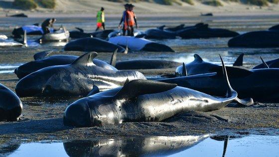 Desta vez, a única baleia encontrada ainda viva estava com uma condição demasiado frágil para ser resgatada