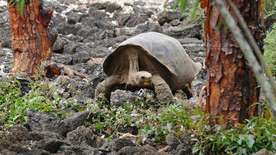 George Solitário era uma tartaruga centenária que morreu em 2012 nas Ilhas Galápagos
