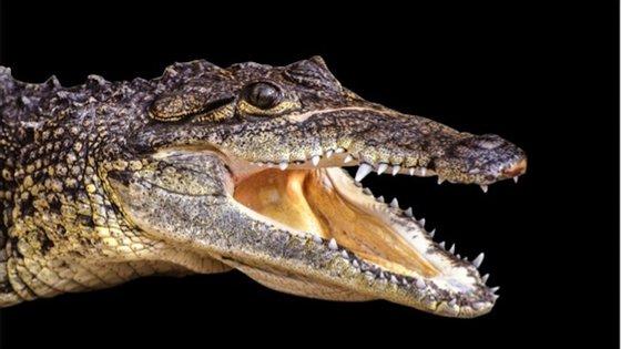 """""""Portugalosuchus azenhae"""" é uma espécie de crocodilo descoberta em Tentúgal por paleontólogos portugeses"""