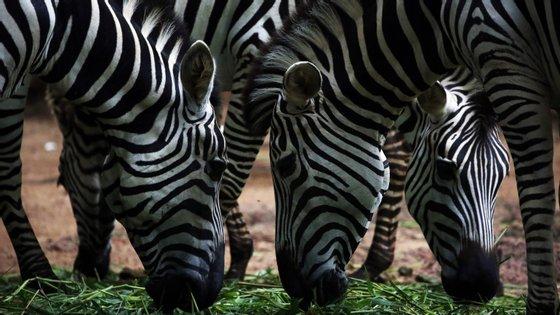 Pelo menos duas impalas, dois changos, uma zebra, uma jibóia, lebres e cágados foram mortalmente atropelados, depois da inauguração da ponte Maputo-Katembe