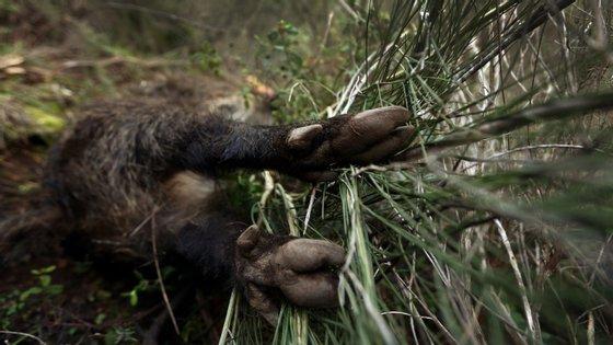 As autoridades explicam que a caça em massa representa uma forma de parar a febre suína africana que se está a espalhar em quintas no leste da Polónia