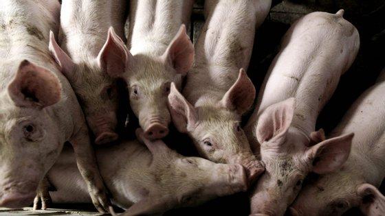 Morreram 75 porcas parideiras e de 1.100 leitões