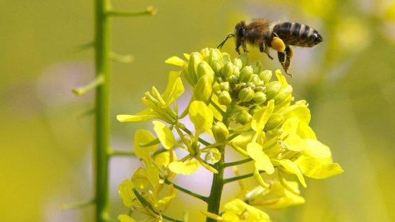 Esta abelha foi descoberta pela primeira vez em 1858 pelo britânico Alfred Russel Wallace
