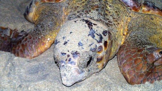 A Caretta caretta, também conhecida por tartaruga comum, encontra-se em perigo de extinção