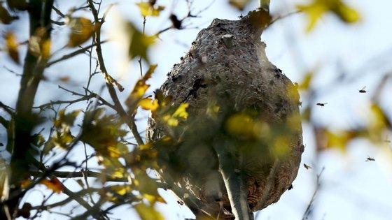 Quando ameaçada, a vespa asiática faz perseguições até algumas centenas de metros