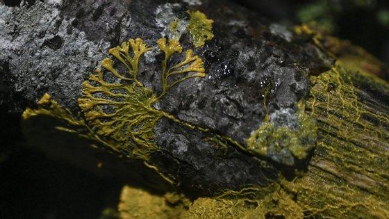 """No jardim zoológico de Paris, para simplificar, chamaram-lhe """"blob"""", mas o nome científico deste organismo é physarum polycephalum"""