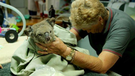 Um coala resgatado de uma região afetada pelos incêndios recebe tratamento num hospital especializado em Port Macquarie