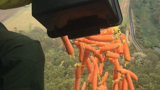 Cenouras e batatas doces estão a ser lançadas de helicópteros para assegurar alimentação dos animais em áreas ardidas.
