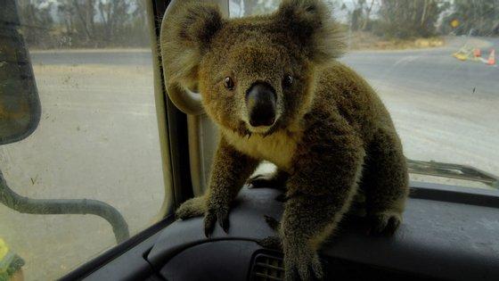 Os coalas são das populações de animais que corre mais risco