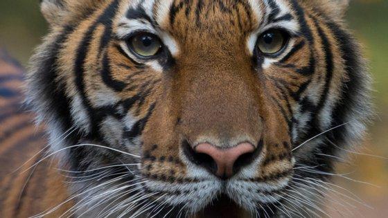 Nadia, de quatro anos de idade, é o primeiro tigre a ser diagnosticado com a Covid-19