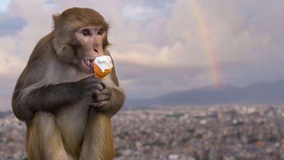 No final dos testes, os 9 macacos rhesus (6 levaram vacina, 3 placebo) foram eutanasiados
