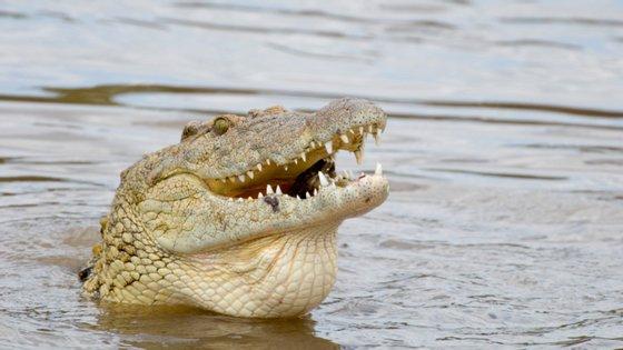 Crocodilo pode ter sido libertado por um morador que o guardaria como animal de estimação