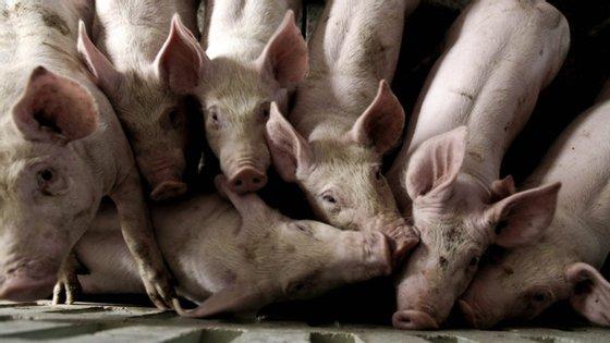 O G4 EA H1N1 é semelhante ao vírus da gripe suína de 2009 e já infetou um em cada 10 trabalhadores de gado suíno da China