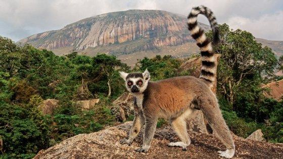 """Cerca de 33 espécies de lémures, que vivem apenas em Madagáscar, estão """"criticamente ameaçadas"""" e 98% dos animais são considerados """"ameaçados"""""""