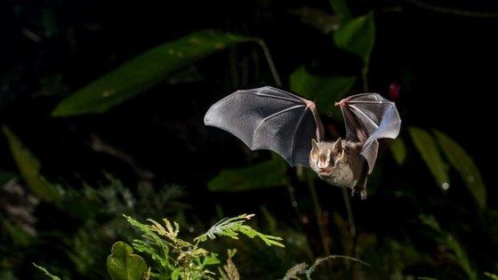 Os especialistas apontaram o exemplo da Covid-19, citando a OMS, que terá tido origem em morcegos selvagens que vivem em grutas perto da cidade chinesa de Wuhan