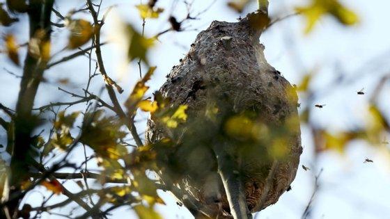 A vespa asiática constitui também uma ameaça para a saúde pública, reagindo modo bastante agressivo quando tem os ninhos ameaçados