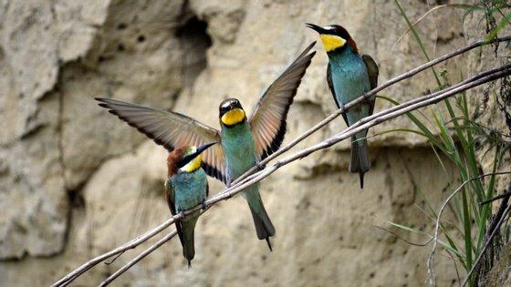 "Investigadores envolvidos no estudo do CIBIO-InBIO da Universidade do Porto utilizaram a inteligência artificial para ""criar o primeiro método capaz de identificar individualmente as aves"""