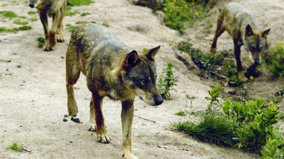 """A Zero identifica o lobo-ibérico como uma das espécies que precisa de """"ações urgentes"""" e acompanhamento, contando para já apenas com """"um plano de ação que não sai do papel"""""""