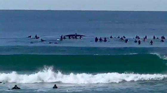 Vídeo publicado no Twitter pelo utilizador @Wingtags mostra o momento em que as baleias foram rodeadas por surfistas
