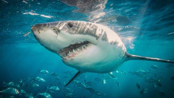 Em causa está o esqualano, ingrediente encontrado num óleo produzido pelo fígado dos tubarões e que é usado para fins medicinais pela indústria farmacêutica