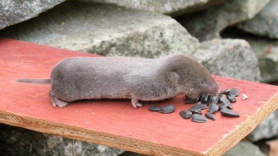 Os musaranhos-de-cauda-curta estão entre os poucos mamíferos capazes de produzir toxinas
