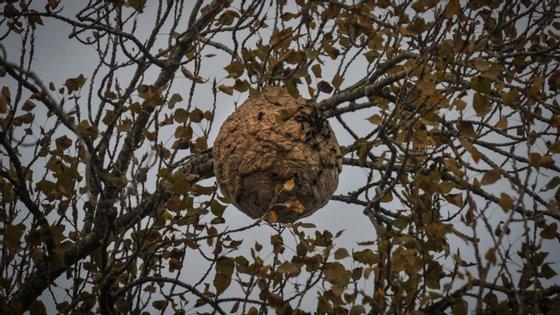 A vespa asiática é uma espécie não indígena, predadora da abelha europeia