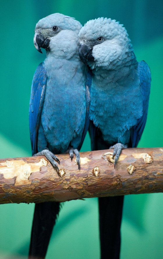 Spix's macaws Felicitas (L) and Frieda sit on a branch in their aviary at the association for the prrotection of endangered parrots in Schoeneiche, eastern Germany, on October 11, 2011. According to the association, the Spix's macaw is the rarest parrot species in the world. In the wild, the parrots are extinct since the year 2000, but they are conserved in breeding programs.     AFP PHOTO    PATRICK PLEUL     GERMANY OUT (Photo credit should read PATRICK PLEUL/AFP/Getty Images)