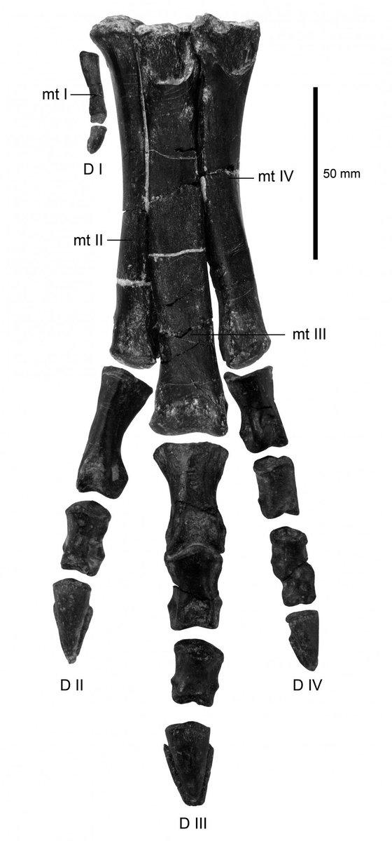 IMG 3. Pe Eousdryosaurus