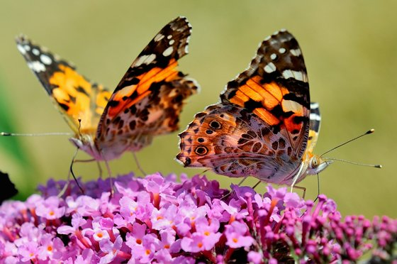 A butterflies searches for food on a buddleia flower, on August 4, 2013 in Godewaersvelde, northern France. Populations of grassland butterflies declined almost fifty percent between 1990 and 2011, according to a report from the European Environment Agency (EEA) published on July 23, 2013. AFP PHOTO / PHILIPPE HUGUEN (Photo credit should read PHILIPPE HUGUEN/AFP/Getty Images)