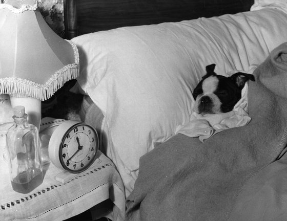 22nd December 1962: Bart, a young Boston Terrier, asleep in his owner's bed, after spending six months in quarantine. Bart was brought into the country from Canada by RSPCA officer, Mr Whitaker. (Photo by Fox Photos/Getty Images)